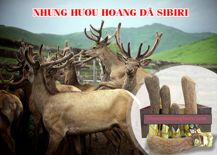 dia-chi-mua-nhung-huou-Siberia-cao-cap-chinh-hang-tai-Ha-Noi